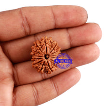 Load image into Gallery viewer, 13 Mukhi Nepalese Rudraksha - Bead No. 152