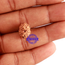 Load image into Gallery viewer, 13 Mukhi Indonesian Rudraksha - Bead No. 210