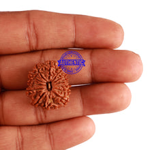 Load image into Gallery viewer, 13 Mukhi Nepalese Rudraksha - Bead No. 220