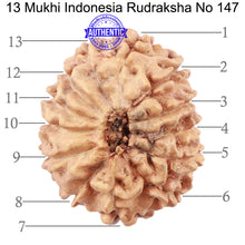 Load image into Gallery viewer, 13 Mukhi Indonesian Rudraksha - Bead No. 147