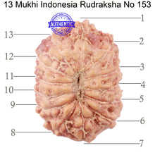 Load image into Gallery viewer, 13 Mukhi Indonesian Rudraksha - Bead No. 153