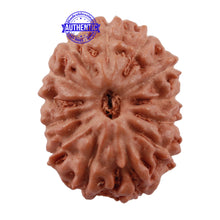 Load image into Gallery viewer, 13 Mukhi Indonesian Rudraksha - Bead No. 161