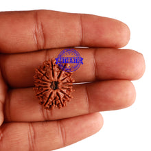Load image into Gallery viewer, 14 Mukhi Nepalese Rudraksha - Bead No. 237