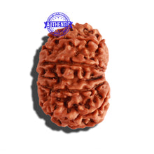 Load image into Gallery viewer, 14 Mukhi Nepalese Rudraksha - Bead No. 241