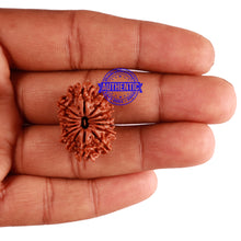 Load image into Gallery viewer, 14 Mukhi Nepalese Rudraksha - Bead No. 242