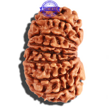 Load image into Gallery viewer, 14 Mukhi Nepalese Rudraksha - Bead No. 246
