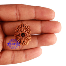 Load image into Gallery viewer, 14 Mukhi Nepalese Rudraksha - Bead No. 248