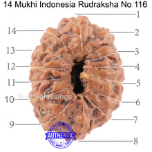 Load image into Gallery viewer, 14 mukhi Indonesian Rudraksha -  Bead No. 116