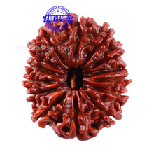 Load image into Gallery viewer, 14 Mukhi Nepalese Rudraksha - Bead No. 180