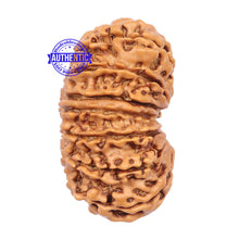 Load image into Gallery viewer, 14 Mukhi Nepalese Rudraksha - Bead No. 185