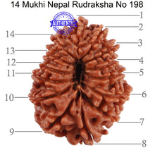 Load image into Gallery viewer, 14 Mukhi Nepalese Rudraksha - Bead No. 198