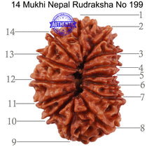 Load image into Gallery viewer, 14 Mukhi Nepalese Rudraksha - Bead No. 199