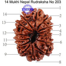 Load image into Gallery viewer, 14 Mukhi Nepalese Rudraksha - Bead No. 203
