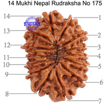 Load image into Gallery viewer, 14 Mukhi Nepalese Rudraksha - Bead No. 175