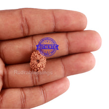 Load image into Gallery viewer, 13 Mukhi Indonesian Rudraksha - Bead No. 190