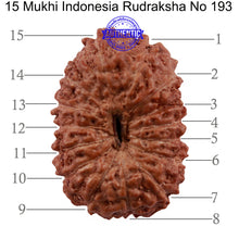 Load image into Gallery viewer, 15 Mukhi Indonesian Rudraksha - Bead No. 193