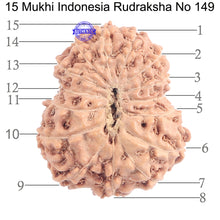 Load image into Gallery viewer, 15 Mukhi Indonesian Rudraksha - Bead No. 149