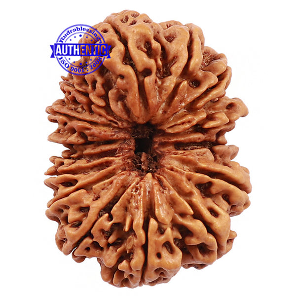 15 Mukhi Rudraksha from Nepal - Bead No. 30
