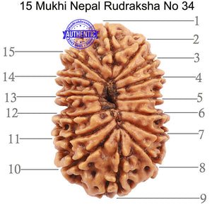 15 Mukhi Rudraksha from Nepal - Bead No. 34