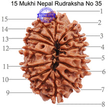 Load image into Gallery viewer, 15 Mukhi Rudraksha from Nepal - Bead No. 35
