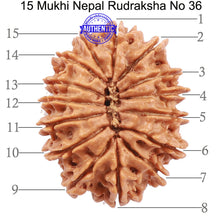 Load image into Gallery viewer, 15 Mukhi Rudraksha from Nepal - Bead No. 36