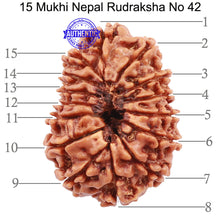 Load image into Gallery viewer, 15 Mukhi Rudraksha from Nepal - Bead No. 42