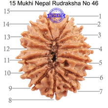 Load image into Gallery viewer, 15 Mukhi Rudraksha from Nepal - Bead No 46
