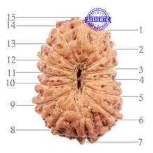 Load image into Gallery viewer, 15 Mukhi Indonesian Rudraksha - Bead No. 203