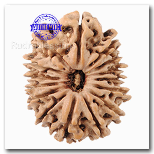 15 Mukhi Rudraksha from Nepal - Bead No. 19