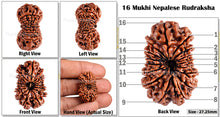 Load image into Gallery viewer, 16 Mukhi Rudraksha from Nepal - Bead No. 45
