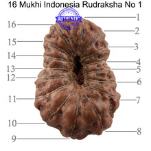 Load image into Gallery viewer, 16 Mukhi Rudraksha from Indonesia - Bead No. 1