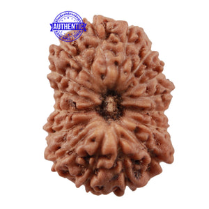 16 Mukhi Rudraksha from Indonesia - Bead No 204