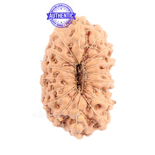 Load image into Gallery viewer, 16 Mukhi Rudraksha from Indonesia - Bead No. 159