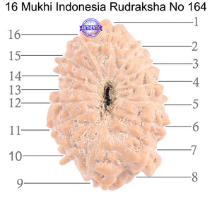 16 Mukhi Rudraksha from Indonesia - Bead No. 164