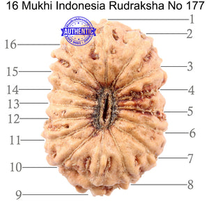 16 Mukhi Rudraksha from Indonesia - Bead No 177