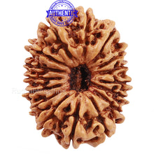 Load image into Gallery viewer, 16 Mukhi Rudraksha from Nepal - Bead No. 55