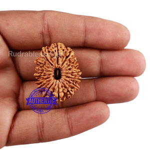 16 Mukhi Rudraksha from Nepal - Bead No. 64