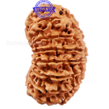 Load image into Gallery viewer, 16 Mukhi Rudraksha from Nepal - Bead No. 64