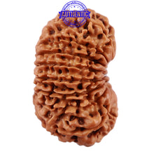Load image into Gallery viewer, 16 Mukhi Rudraksha from Nepal - Bead No. 65
