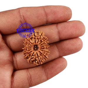 16 Mukhi Rudraksha from Nepal - Bead No. 65
