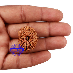 16 Mukhi Rudraksha from Nepal - Bead No. 68