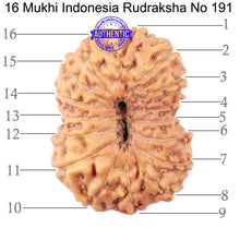 Load image into Gallery viewer, 16 Mukhi Rudraksha from Indonesia - Bead No. 191