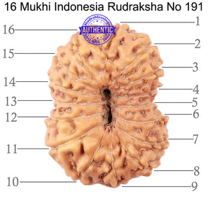 16 Mukhi Rudraksha from Indonesia - Bead No. 191