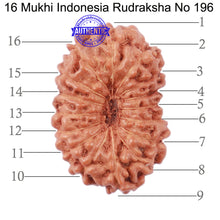 Load image into Gallery viewer, 16 Mukhi Rudraksha from Indonesia - Bead No. 196