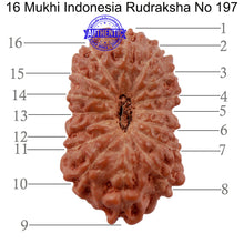 Load image into Gallery viewer, 16 Mukhi Rudraksha from Indonesia - Bead No. 197