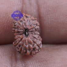 Load image into Gallery viewer, 16 Mukhi Rudraksha from Indonesia - Bead No. 198