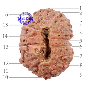 16 Mukhi Rudraksha from Indonesia - Bead No. 199