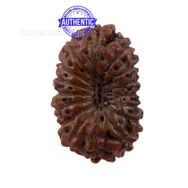 16 Mukhi Rudraksha from Indonesia - Bead No 203