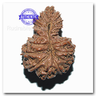 17 Mukhi Gaurishankar Rudraksha from Indonesia - Bead No. 70