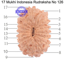 Load image into Gallery viewer, 17 Mukhi Rudraksha from Indonesia - Bead No. 126
